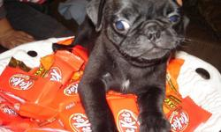 Hello there, I have a male and female pure breed pug puppies looking for new homes, both puppies are adorable Pug puppies with clean bill of health from our vet. They are by names Stacey and Kasey, they are toy-sized & beautiful. The puppies are up to