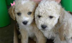 Toy poodle puppies They are 11 weeks old very playful and cute. Female is light brown with white straight fur .She's slime with long legs . Males is cream color with curly fur. he's chubby with short legs . Mother and Father are small toy poodles. They