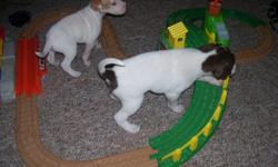 English Pointer Puppies, whelped 3/27/2011 Dam and Sire on site. 5 Males 4 Females American Field Registration on Dam and Sire, Puppies have there registration Certificate. Excellent dogs, love kids, paper trained. Call 815-378-8342 815-337-7248 We are