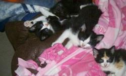 PRICES REDUCED: 2 tuxedo male manx, 1 tuxedo poly/manx, 1 orange marbled male manx, 1 poly black male and 1 black male. Born July 15, 2011. All handled since birth and very social, eating solid foods and using the litter box. Ready to find their forever