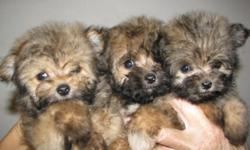 3 beautiful little girls. Frist shots and wormings. They will be small. Very sweet and plpayful. Mother is poodle, father is pom. Do not ship. Please call for more info. $225. 803-222-2131.