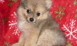 """**SOLD OUT** Pomeranian puppies born 9-15-2012 to """"Smiley"""" and """"Fizzgig""""... One tiny teacup wolf-sable female*sold, and two full-size cream-sable-merle males*both sold, $400 each... Weaned and ready for new """"furever"""" homes now : ) **We DO NOT ship, but"""