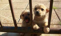 Pomchi Mix Puppies. 3 months old. 1ST SET OF SHOTS AND DEWORMED ! ready for a new home A.S.A.P