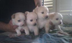 I have 4 pomchi puppies to good home. 2 male 2 female. $175 call 702-772-5872