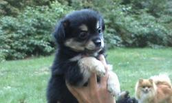 I have 2 female and 1 male pomchi puppies. 8 weeks old with parents on premises. They are tiny balls of black fur with unique features. call me if interested @810-710-0601
