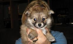 Pomchi puppies born Jan 3, 2011. 2 males and 1 female available. Very Cute. Mom and Dad on premises.