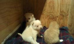I have 3 beautiful Pomchi puppies for adoption. The will be available July 29th. The 2 males are white and the female is brown with a black face. They will only wiegh between 6-9 pounds full grown. Very good natured and great with kids. They have the
