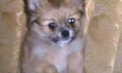 Adorable, sweet male pomchi puppy. Born 10-07-10 and is ready for a good home. His estimated adult weight is 5lbs.