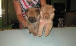 Two puppies 6 weeks old for sale