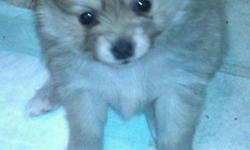I have 1 male purebred pomeranian ready for a loving & responsible home. already has first shots, asking 200obo. Parents on site, I've included a picture of them as well. call/txt for more info or more pictures.