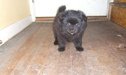 black puppy born july 4 black with the tuxedo look