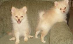 CKC Registered Puppies: Adorable Pomeranian and Shih-A-Pom( Pomeranian and Shih Tzu Breed) puppies for sale. Two cream pomeranian puppies, 1 boy and 1 girl. Three multi-colored Shih-a-pom puppies, 2 girls and 1 boy. Puppies are paper trained and up to