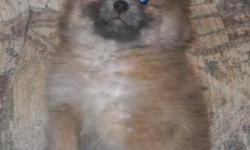 I have a female Pom that is sable in color, first shots very, very spoiled and is very beautiful. She is a ball of fur. Her birth date is 11/28/10. Parents on site.