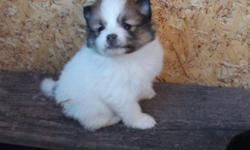 I live in Mid-Missouri and I have CKC registered Pom puppies, cute little playful fluff balls!  one male sable/white Parti Pom for 350.00, and  Three black