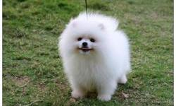 I only have two beautiful Pomeranian puppies left out of a litter of eight, I have a female and a male, they have been wormed 4 times have first shots and be vet checked and started on flea prevention, they will also come with a eukanuba puppy pack and a