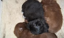 One female puppy for sale. I have the light blonde brown female left, the darker brown male and the black female have been sold. She looks like a little teddy bear in the face. She was born on January 21 and will be nine weeks old on March 25. Has had