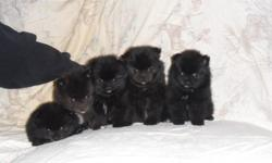 we have one girl (linsey) and one boy (lane).they are ckc registered. cash only.no shipping.picture available.