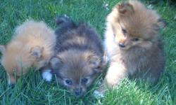 We have three adorable Pomeranian puppies who are looking for a good home. There is 1 male and 2 females. They will be 8 weeks old by Saturday, September 3rd and have had their first puppy shots. If you are interested or have any questions, please call