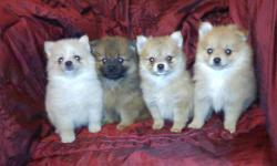 Precious pom babies, two boys and two girls, the girls are orange and the boys are creme and dark sable with mask. Ready to go at 8wks, shots and worming utd. please call or text for more info 712-590-0032.