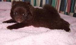 Cute pom puppy's looking for that loving home.will be small -parents on site-Reg./Papers Baby face poms 817-801-7120