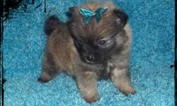 We have precious CKC registered pomeranian puppies that are looking for a forever home. They are fully vet checked with their vaccinations and dewormings, health guaranteed. They are raised in our home from birth and are well socalized with kids and other