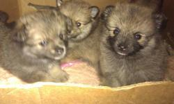 8 Weeks Two Male Two Female Piks at facebook.com search kbpompups 8483334488