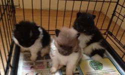 Pomeranian Puppies!!  Born August 29th,2012 - 61/2 weeks old.