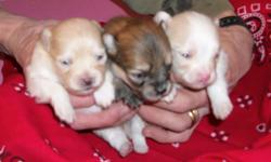 Beautiful Toy Pomeranians, ready on valentines. These babies will have thier puppy shots, dewormed and health guarantee. raised in my home and parents are on premises. Puppies are very healthy and never been outside, Parents have sweet personality and are