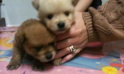 Adorable Pomeranian Puppies for sale, $500 each. They are 6 weeks old. They are AKC registered. They have been wormed and have had shots. There are cream/white colored males & females, and red/orange colored males & females. Looking for a wonderful home