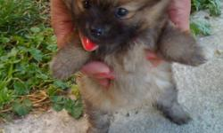 I have 4 Pomeranian puppies for sale and they need good homes. They are cute and cuddly and have lots of energy. They can eat and drink on their own and are trying to be potty trained. They do love to go outside. I have 2 little girls and 2 little boys. I