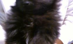 3 male purebred papered pomeranian puppies