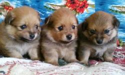 "The boys are to the left and the girl at the extreme right in the photo. There are 3 very cute and adorable 7/8 Pomeranian & 1/8 Papillion ""puff ball"" puppies for sale.  All three are so very cute!!! The puppies have just made 8 weeks"
