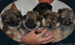 4 Male Pomeranian Puppies for sale Shots and dewormed Raised inside our home 8 weeks old Ready to go to their forever homes