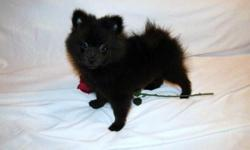 Pomeranian puppies available now. CKC reg. 2 males, black, Born 07/18/10. 1 male, cream sable, born 06/19/10. 1 year Health Guarantee. Current on vaccines. Raised in my home. Happy, healthy, and playful puppies. Call Debra 334-794-0492