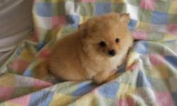 Small Pomeranian puppies available. 2 males. Born 01/01/11. CKC reg. 1 year Health Guarantee. Current on vaccines. Raised in my home. Healthy, playful, and so...cute! Call Debra 910-874-5044 Website> www.yourpuppystop.com Email debra7141@gmail.com I will
