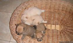 I have white and beige pomeranians the parents are super tiny, SEE IN PICTURE less than 5 pounds each. this puppies are super cute and they won't grow that much. send e mail if interested and to send you more pictures.