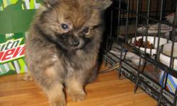 Bouncing baby boy. CKC registered. Up to date on shots and wormings. Sweet little guy. Ready for a home. $200. 803-222-5675