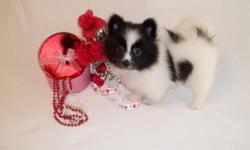Beautiful Pomeranian puppy ready for her new forever home. Female Black/White parti color. Born 12/01/10. CKC reg. 1 year Health Guarantee. Current on vaccines. Raised in my home, playful and so...cute! Call Debra 334-794-0492 Website>>