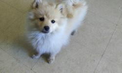 3 month old pomeranian puppy for sale, a playful boy, asking price is $400 obo. he's a caramel color very cute and loving.