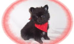 This baby boy is soooo cute. He is a little spit fire with a great personality. He is ready for a new family to love.He is micro chipped.He comes with his first series of shots, wormings and a Vet Health Certificate. He also comes with a complete puppy