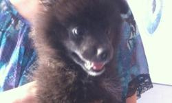 He is a lovely 10 weeks old shiny black pomeranian. I am looking for a better home for him, as I am too busy to take good care of him. Price is negotiable as long as you like him and want him be part of your family for a long time.