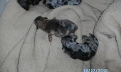born august 20th-2010 One blue merle male 400.00 pet home only no akc papers and $700.00 full akc reg with papers.. Xmas pups..Born october 20th and 23rd 2010 Blue merle female, blue merle male,chocolate merle male,chocolate sable female Other litter