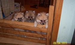 i have 3 male pom puppies for sale they are 8 wks old,200.00 each.can call any time if no one answers leave message i will get back to you,ph 931-277-5041, thank you