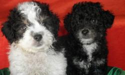CUTE FRENCH PUPPIES, MALES AND FEMALES, PLAYFULL, ACTIVE FULL OF JOY, POTTY TRAINED, HOUSEBROKEN, HAVE BEEN GIVEN FIRST MULTIPLE SHOT, DEWORMED, MORE PICTURES AND INF...AT 619-408-4214