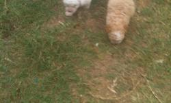 Poodle puppies need new homes. They are 8 weeks old. Contact me at (832) 893-8433 if interested.