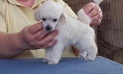 Beautiful toy/small miniature poodles ready for Christmas. ALL MALES. From outstanding bloodlines. Whites and silvers. First shots, worming, and health guarantee. Available with neuter contract only. www.bragaboutpoodles.com