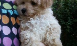 Beautiful, sweet male poodle puppy. First shots and worming. CKC registered. 8 weeks old. Should mature to around 6 or 7 pounds. Please call for more info. 803-222-2131. Please no emails, I am placing this ad for some else.