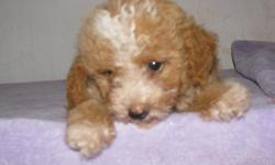 Red and white male poodle pup. Will be 8 week old wednesday. First shots and wormings. CKC registered. Beautiful little guy. White on his face and white on the tip of each foot. He is just too cute!! 803-222-2131