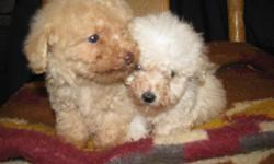 1 very tiny puppy, ready for homes. CKC registered. 1 male left he is white. 8 weeks old. Please call for more info. 803-222-2131