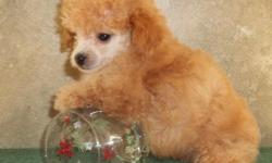 gorgeous toy poodle pups..ready to go,raised with children....black male w/white markings-150.00..dark apricot boy-200.00 dark apricot girl-250.00 pups are loving,health guaranteed..carwynpoodles.com